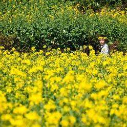 Canola Flower Fields